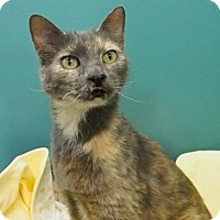 Domestic Shorthair Cat for adoption in New Orleans, Louisiana - Lucy