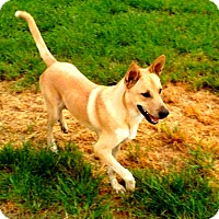 Carolina Dog Mix Dog for adoption in Cranston, Rhode Island - Butter (fostered in TX)