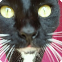 Domestic Shorthair Cat for adoption in Ocala, Florida - FIONA