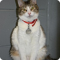 Domestic Shorthair Cat for adoption in Bradenton, Florida - Survivor