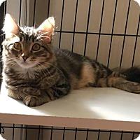 Domestic Longhair Cat for adoption in Hammond, Louisiana - Fan