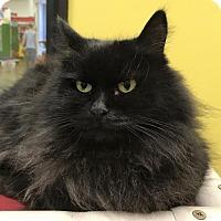 Persian Cat for adoption in Battle Ground, Washington - Maggie