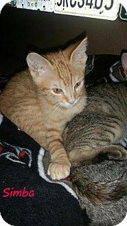 Domestic Shorthair Kitten for adoption in Land O Lakes, Florida - Simba & Tito