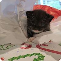 Domestic Shorthair Kitten for adoption in ROSENBERG, Texas - Arlo