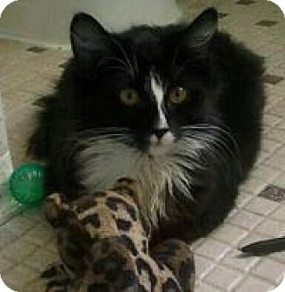 Domestic Longhair Cat for adoption in Rochester, Michigan - Bailey