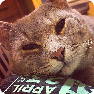 Domestic Shorthair Cat for adoption in Toronto, Ontario - Rhum
