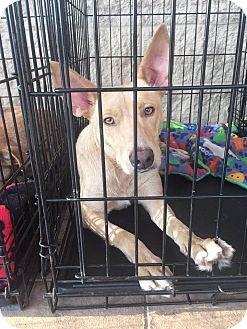 Shepherd (Unknown Type)/Retriever (Unknown Type) Mix Dog for adoption in Gainesville, Florida - DeeDee