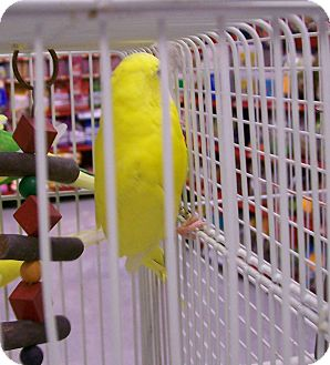 Budgie for adoption in Shawnee Mission, Kansas - Tinky