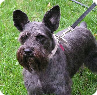 Schnauzer (Miniature) Dog for adoption in Rigaud, Quebec - Missy