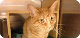 Domestic Shorthair Cat for adoption in Winder, Georgia - *Miss Kitty
