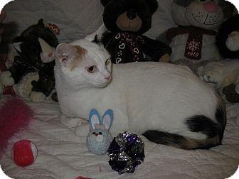 Turkish Van Cat for adoption in Poway, California - Morning Rainbow
