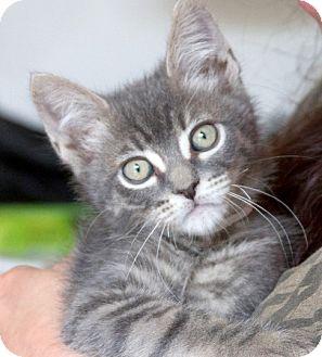 Domestic Shorthair Kitten for adoption in Irvine, California - Loki