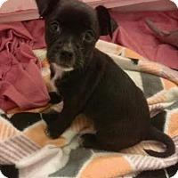 Adopt A Pet :: Whitney - Studio City, CA