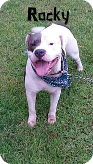 American Bulldog Mix Dog for adoption in Eden, North Carolina - Rocky