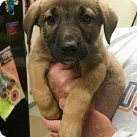 Adopt A Pet :: Beer Pup - Amber - San Diego, CA