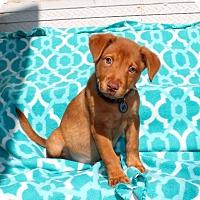 Adopt A Pet :: Idaho Spud - Los Angeles, CA