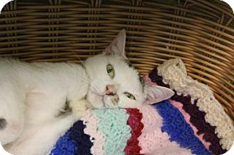 Domestic Shorthair Cat for adoption in Indianapolis, Indiana - Lilac
