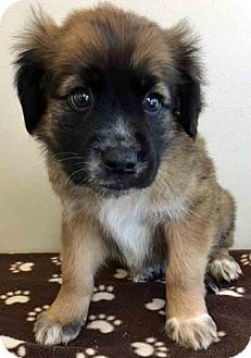 Shepherd (Unknown Type) Mix Puppy for adoption in Gahanna, Ohio - ADOPTED!!!   Robie