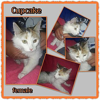 Domestic Mediumhair Kitten for adoption in Richmond, California - Cupcake