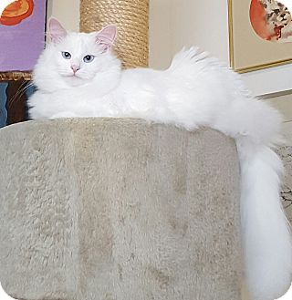 Turkish Angora Cat for adoption in Nashville, Tennessee - Triscuit