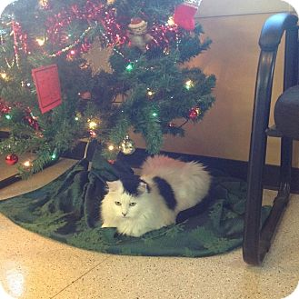 Domestic Mediumhair Cat for adoption in Sterling Hgts, Michigan - Sweet Sammy a lover
