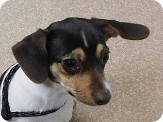 Jack Russell Terrier Mix Dog for adoption in Saginaw, Michigan - Noel