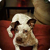 Catahoula Leopard Dog/Blue Heeler Mix Puppy for adoption in Denver, Colorado - Rain