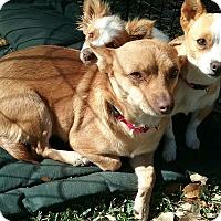 Adopt A Pet :: Colette - Boerne, TX