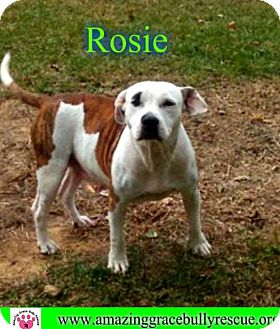 American Bulldog Mix Dog for adoption in Pensacola, Florida - Rosie