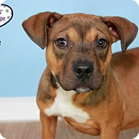 Boxer Mix Puppy for adoption in Lee's Summit, Missouri - Neve