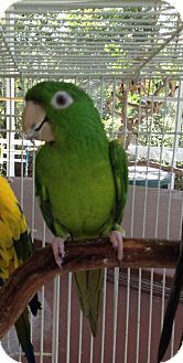 Conure for adoption in Punta Gorda, Florida - Stephi