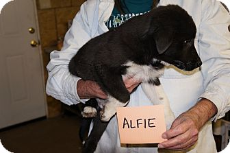 Catahoula Leopard Dog/Border Collie Mix Puppy for adoption in Conway, Arkansas - Alfie
