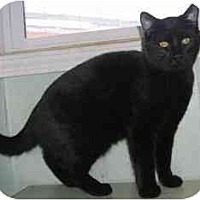 Adopt A Pet :: Big Black Cat - Strathmore, AB