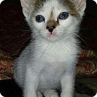 Adopt A Pet :: Arthur - Chandler, AZ