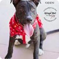 Adopt A Pet :: ODIN - Gilbert, AZ