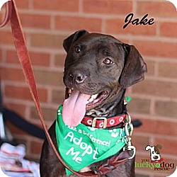 Photo 1 - Labrador Retriever/Pit Bull Terrier Mix Dog for adoption in Alpharetta, Georgia - Jake