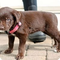 Adopt A Pet :: Shenandoah - Mt. Prospect, IL