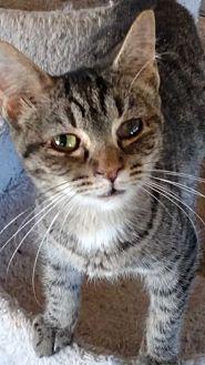 Domestic Shorthair Cat for adoption in Benton, Pennsylvania - Meatball