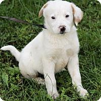Adopt A Pet :: Maxton - Allentown, PA