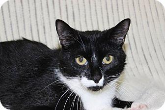 Domestic Shorthair Cat for adoption in Danville, Illinois - OREO