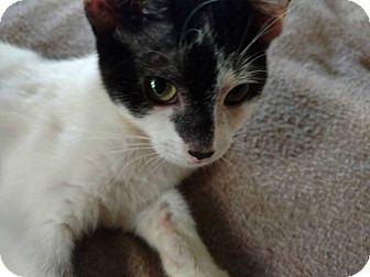 Domestic Shorthair Kitten for adoption in Columbus, Ohio - Two Spirit