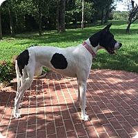 Adopt A Pet :: Dutch - Franklin, TN