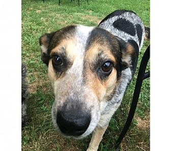 Cattle Dog Mix Dog for adoption in Gilbertsville, Pennsylvania - Carrie