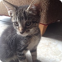 Domestic Shorthair Kitten for adoption in Tampa, Florida - Sophie