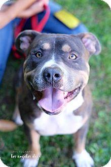 American Pit Bull Terrier Dog for adoption in Santa Monica, California - Spencer