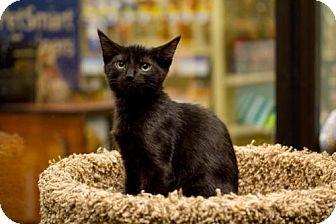 Domestic Shorthair Kitten for adoption in Atlanta, Georgia - Joker 160890