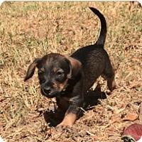 Adopt A Pet :: Bert - Birmingham, AL