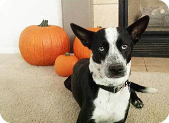 Australian Cattle Dog/Husky Mix Dog for adoption in Englewood, Colorado - Carbon
