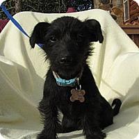 Adopt A Pet :: Bindi - Sherman Oaks, CA