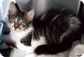 Domestic Mediumhair Kitten for adoption in Key Largo, Florida - Sylvia